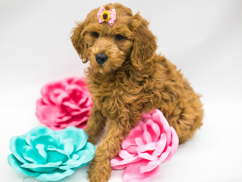 F1B Goldendoodle-Female-Red-2626614-Petland Wichita, KS