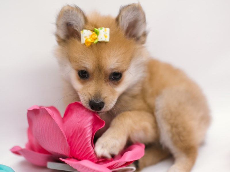 Pomeranian-Female-Light Sable-2634523-Petland Wichita, KS