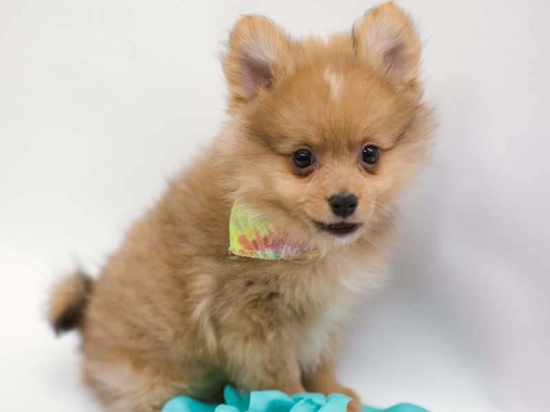 Pomeranian-DOG-Male-Red-2634513-Petland Wichita, KS
