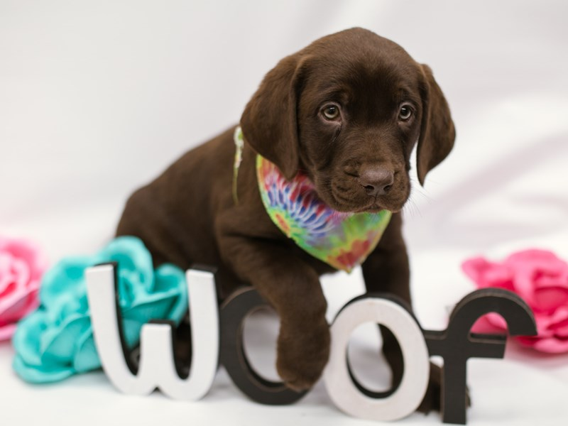 English Labrador Retriever-Male-Chocolate-2633025-Petland Wichita, KS