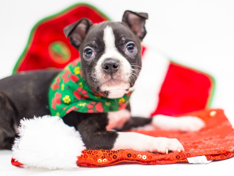 Boston Terrier-Male-Black Tuxedo-2522763-Petland Wichita, KS
