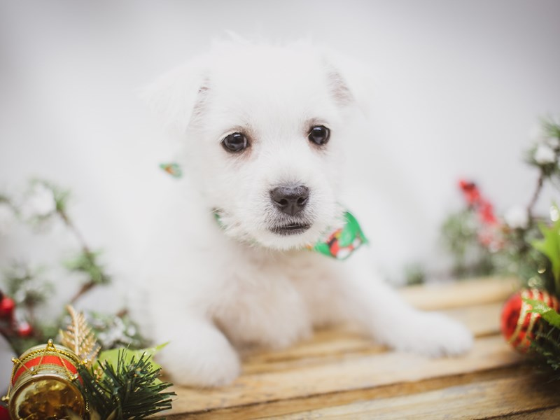 West Highland White Terrier-Male-White-2563266-Petland Wichita, KS