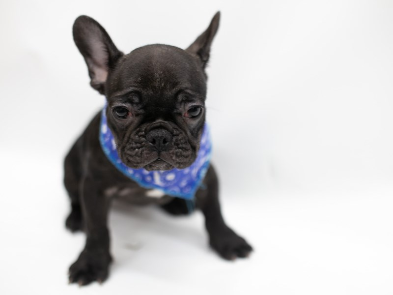French Bulldog-DOG-Male-Brindle-2571728-Petland Wichita, KS