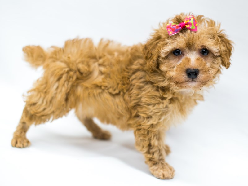 Toy Poodle-Female-Red-2583140-Petland Wichita, KS