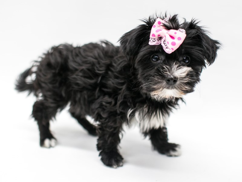 Yorkie Poo-Female-Black & White-2582732-Petland Wichita, KS