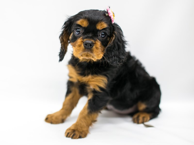Cavalier King Charles Spaniel-Female-Black & Tan-2580858-Petland Wichita, KS