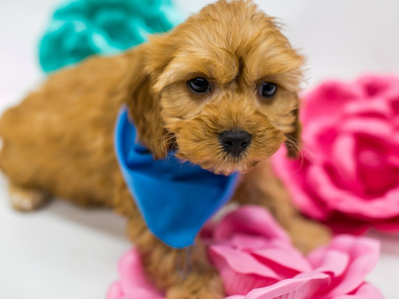 Cavapoo-Male-Red-2613314-Petland Wichita, KS