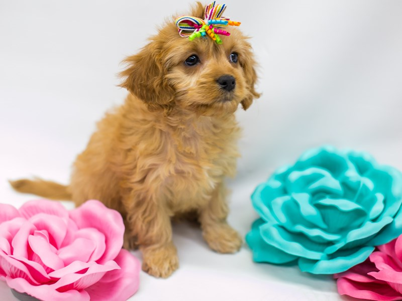 Cavapoo-Female-Red-2613328-Petland Wichita, KS