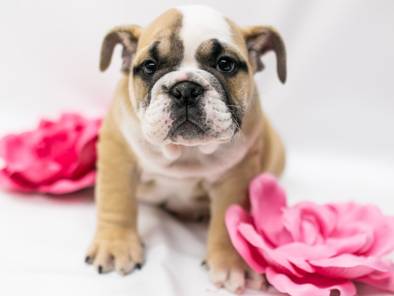 English Bulldog-Female-Fawn & White-2620487-Petland Wichita, KS