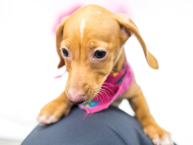 Miniature Dachshund-DOG-Female-Cream-2620480-Petland Wichita, KS