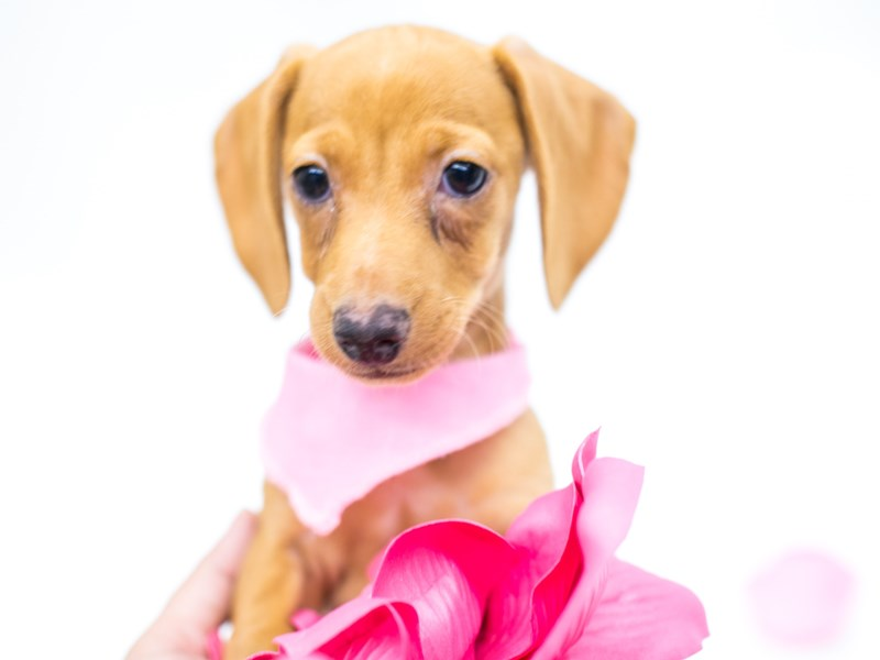 Miniature Dachshund-Female-Cream-2620479-Petland Wichita, KS