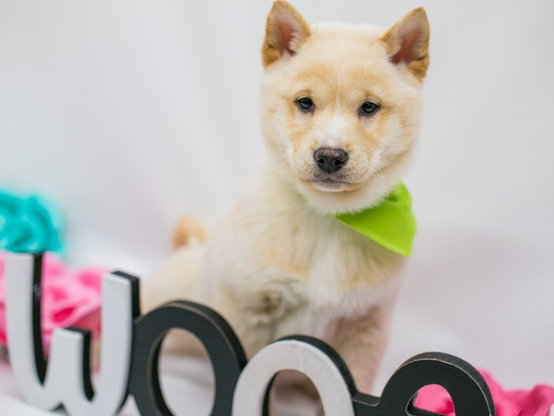Shiba Inu-DOG-Male-Cream-2627200-Petland Wichita, KS