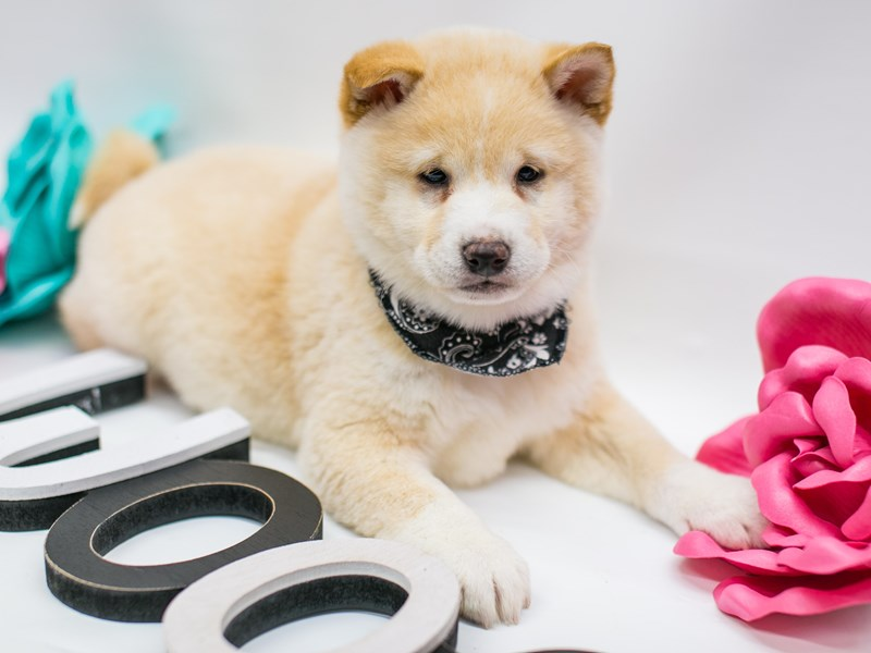 Shiba Inu-Male-Cream-2627183-Petland Wichita, KS