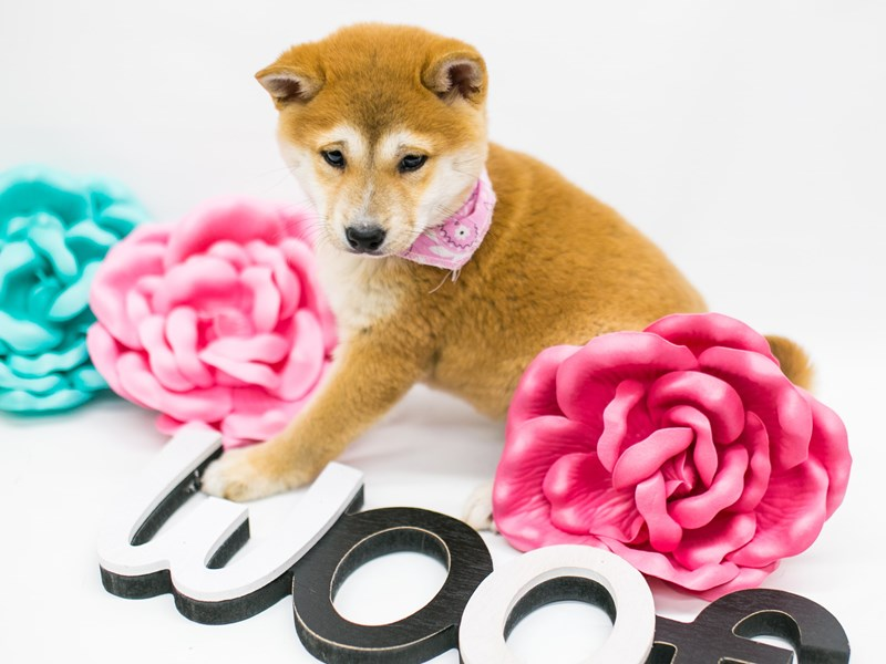 Shiba Inu-DOG-Female-Sesame-2627142-Petland Wichita, KS