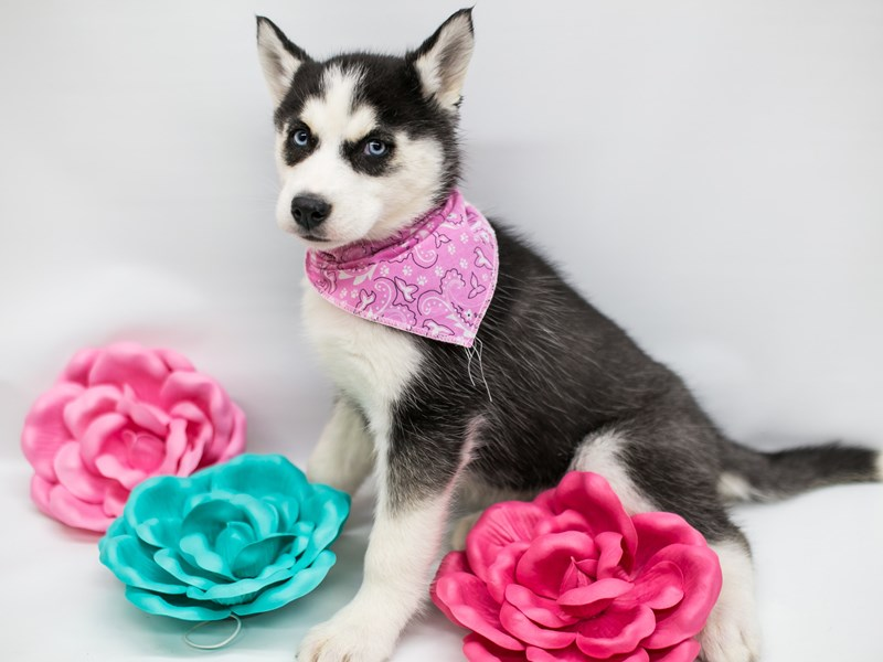 Siberian Husky-DOG-Female-Black & White-2626981-Petland Wichita, KS
