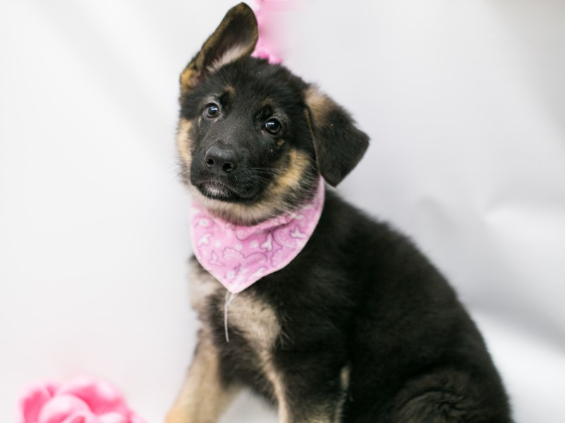German Shepherd-Female-Black and Tan-2626750-Petland Wichita, KS