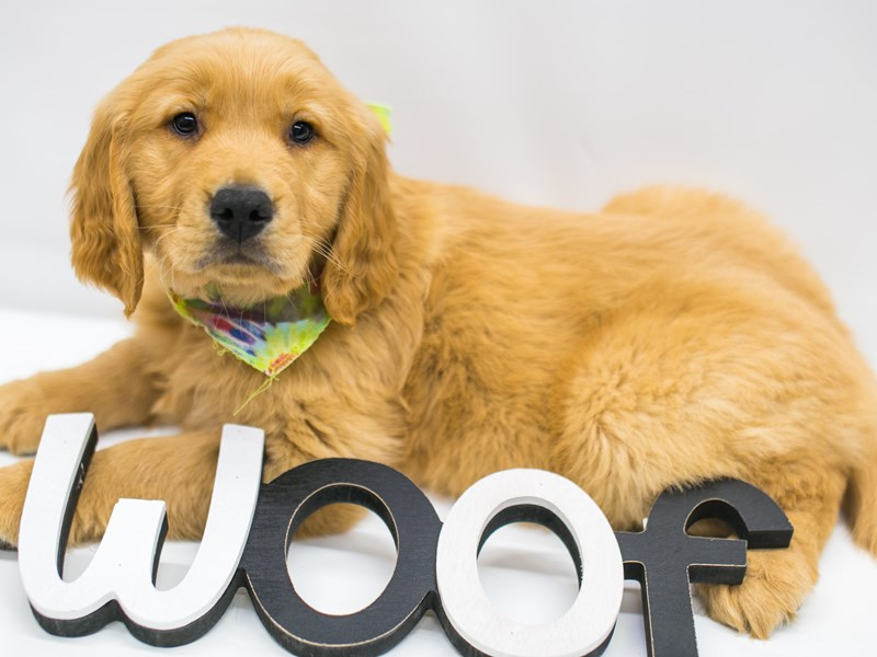 Golden Retriever-Male-Golden-2626698-Petland Wichita, KS