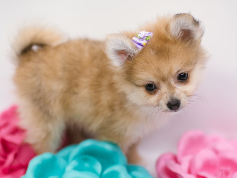 Pomeranian-DOG-Female-Red-2634521-Petland Wichita, KS