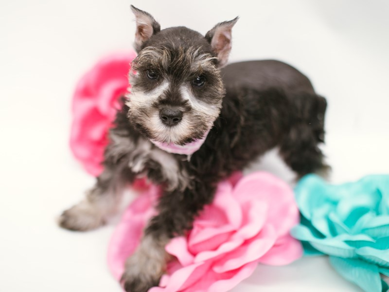 Miniature Schnauzer-Female-Salt & Pepper-2634482-Petland Wichita, KS