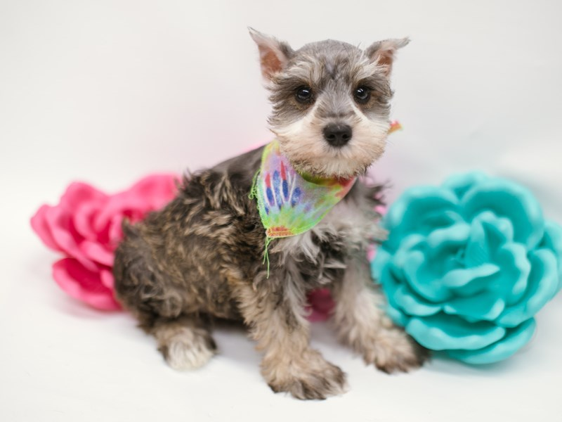 Miniature Schnauzer-Male-Salt & Pepper-2634481-Petland Wichita, KS