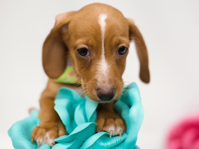 Miniature Dachshund-Male-Red w/ White Markings-2633068-Petland Wichita, KS
