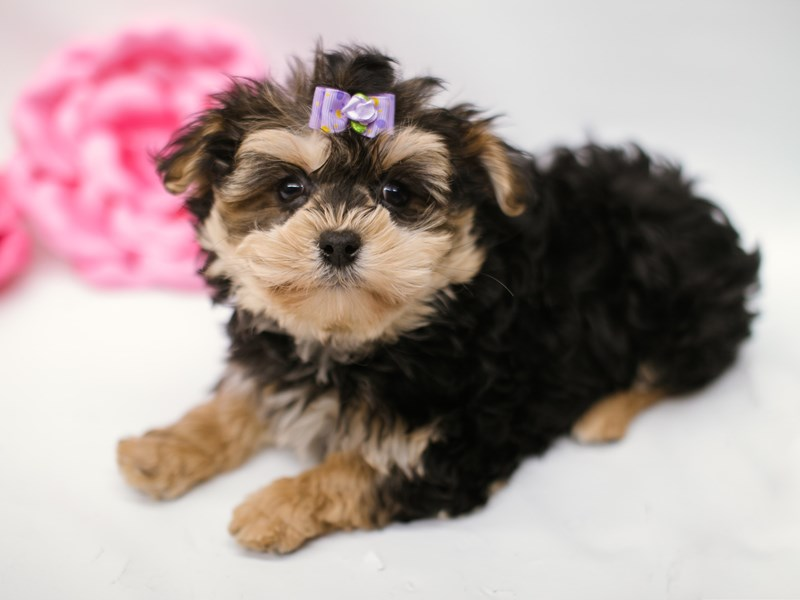 Morkie-Female-Black & Tan-2633065-Petland Wichita, KS