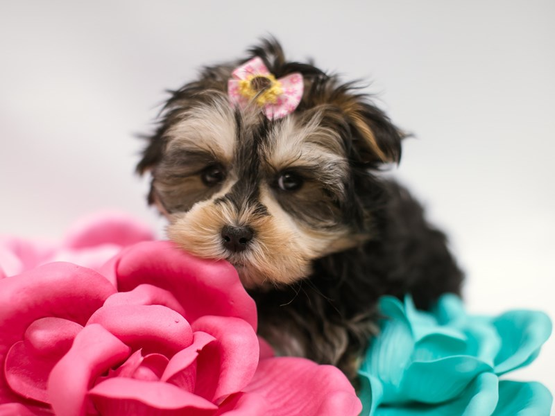 Morkie-Female-Black & Tan w/ White-2633059-Petland Wichita, KS