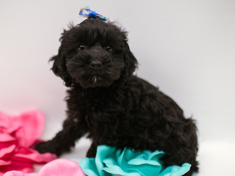 Cock A Poo-DOG-Female-Black-2633047-Petland Wichita, KS