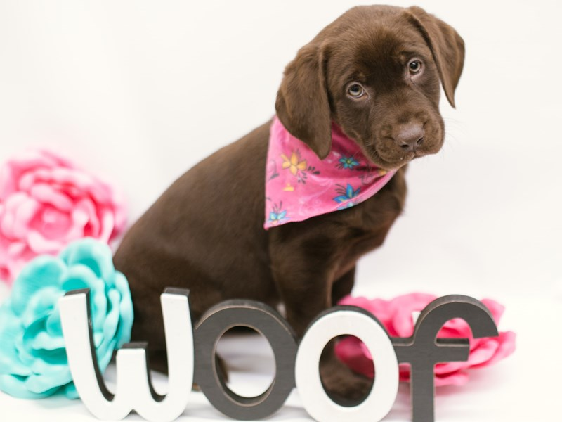 English Labrador Retriever-Female-Chocolate-2633028-Petland Wichita, KS