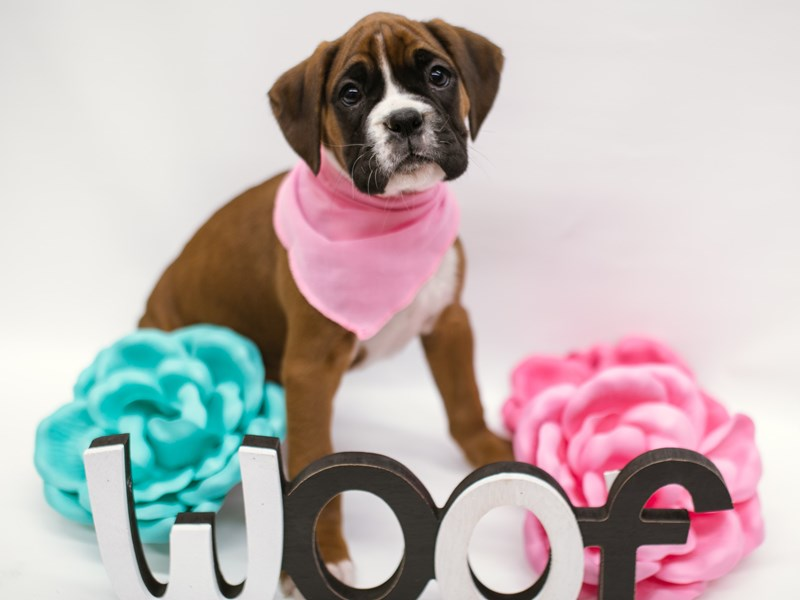 Boxer-Female-Mahogany-2633010-Petland Wichita, KS