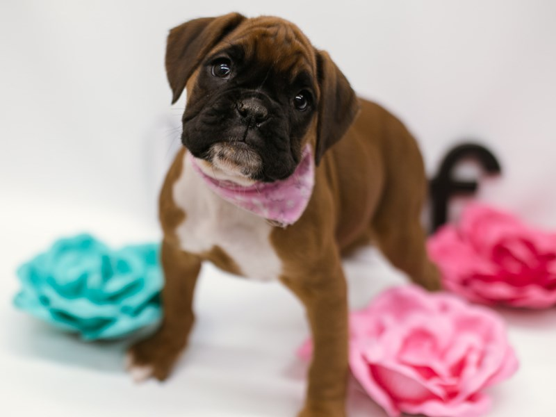 Boxer-Female-Mahogany-2633003-Petland Wichita, KS