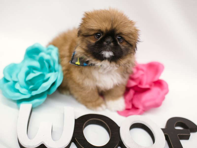 Pekingese-Male-Sable w/Black Mask-2633000-Petland Wichita, KS