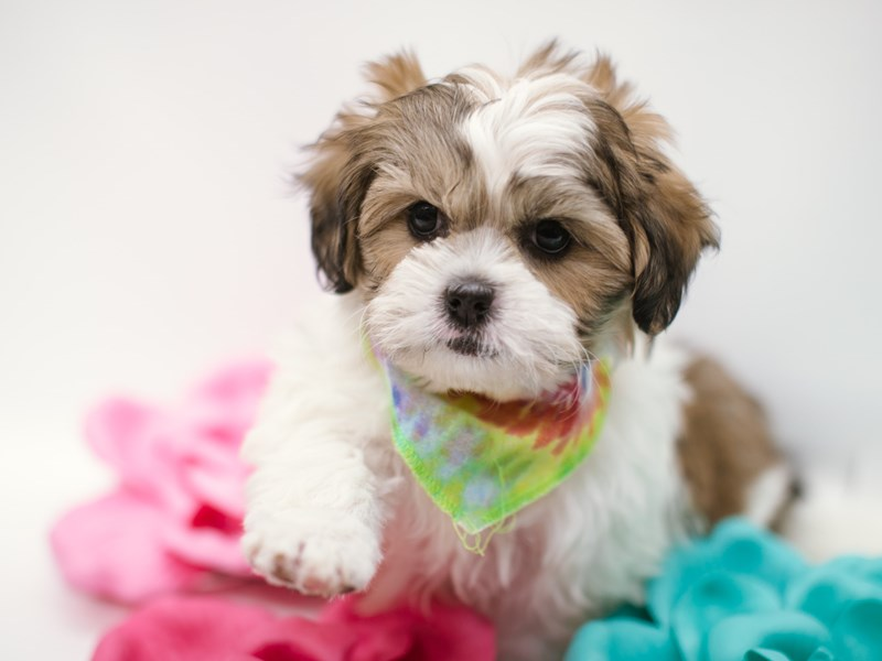 Shorkie-Male-Gold & White-2632982-Petland Wichita, KS