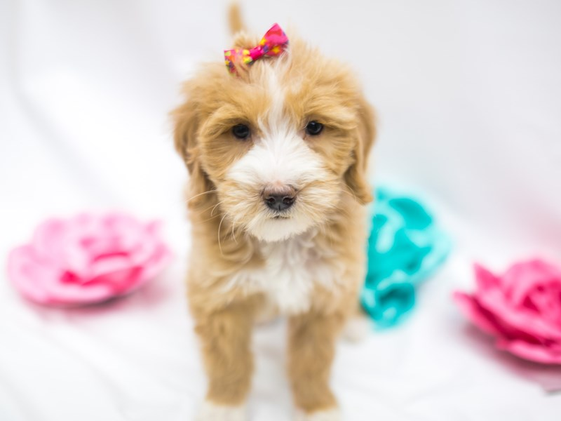 F1B Mini Goldendoodle-Female-Apricot & White-2642546-Petland Wichita, KS