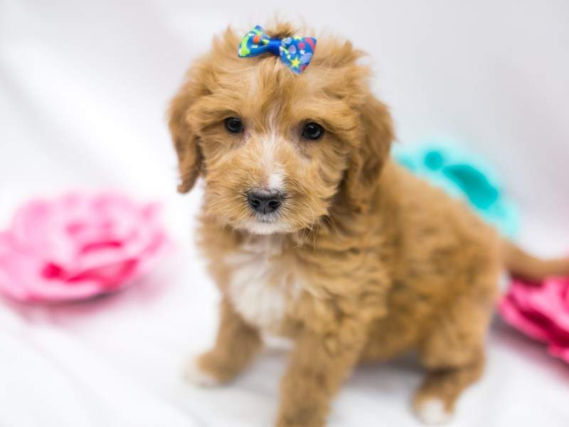 F1B Mini Goldendoodle-Female-Apricot & White-2642533-Petland Wichita, KS
