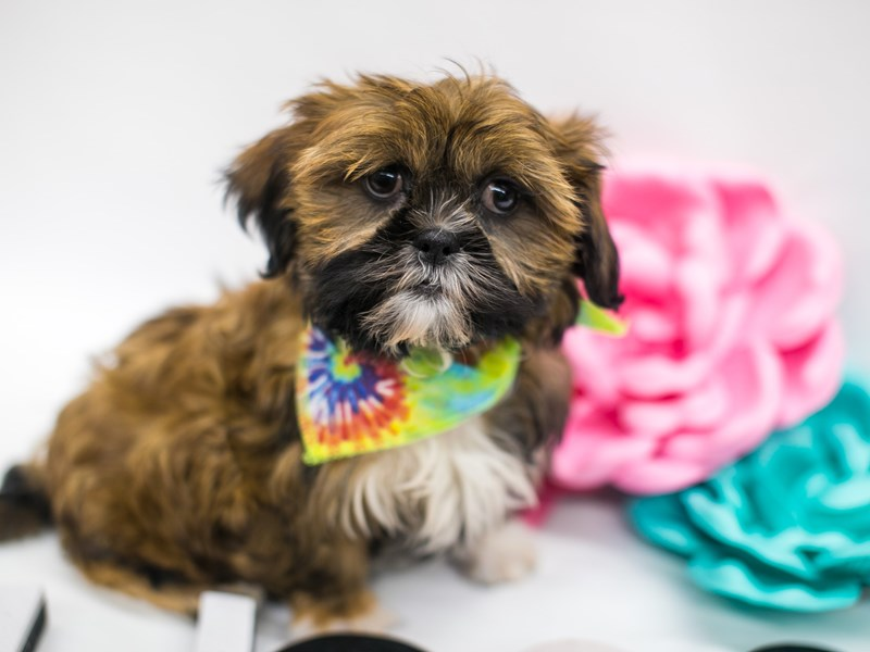 Shih Tzu-Male-Red w/Black Mask and White paws-2642448-Petland Wichita, KS