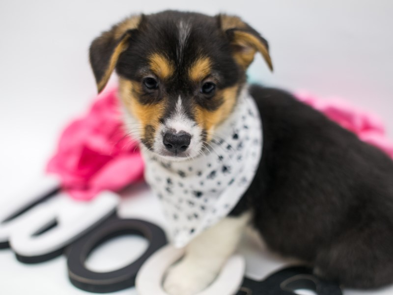 Pembroke Welsh Corgi-Male-Black, White & Tan-2642385-Petland Wichita, KS