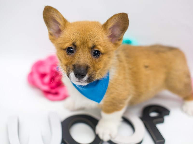 Pembroke Welsh Corgi-Male-Sable & White-2642363-Petland Wichita, KS