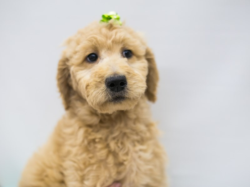 F1B Standard Goldendoodle-DOG-Female-Light Golden-2642305-Petland Wichita, KS