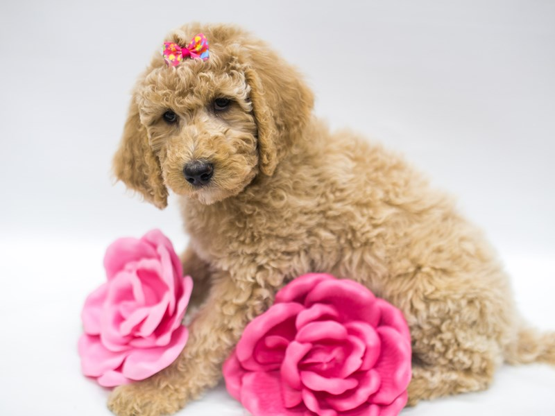 F1B Standard Goldendoodle-Female-Light Golden-2642294-Petland Wichita, KS
