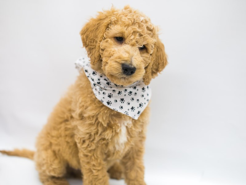 F1B Standard Goldendoodle-Male-Light Golden-2642290-Petland Wichita, KS