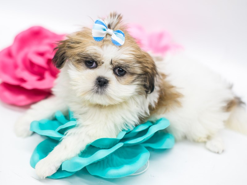 Lhasa Apso-Female-White & Gold-2642243-Petland Wichita, KS