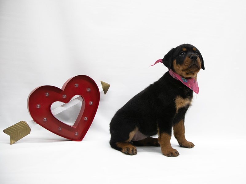 Rottweiler-DOG-Female-Black & Rust-2649888-Petland Wichita, KS