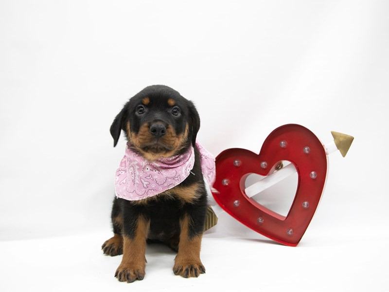 Rottweiler-DOG-Female-Black & Rust-2649878-Petland Wichita, KS
