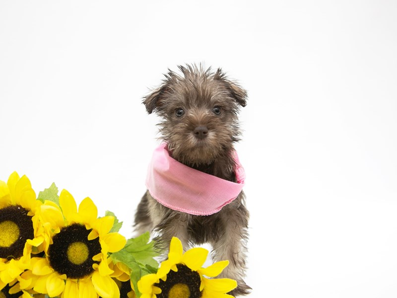 Miniature Schnauzer-Female-Liver & White-2649872-Petland Wichita, KS