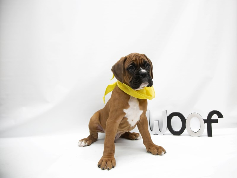 Boxer-DOG-Male-Fawn w/ Black Mask-2649813-Petland Wichita, KS