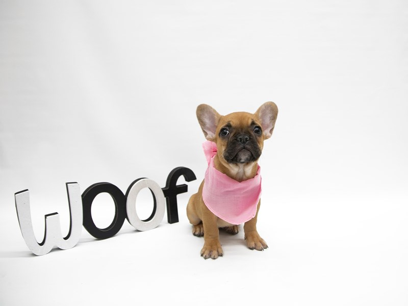 French Bulldog-Female-Fawn w/ Black Mask-2649771-Petland Wichita, KS