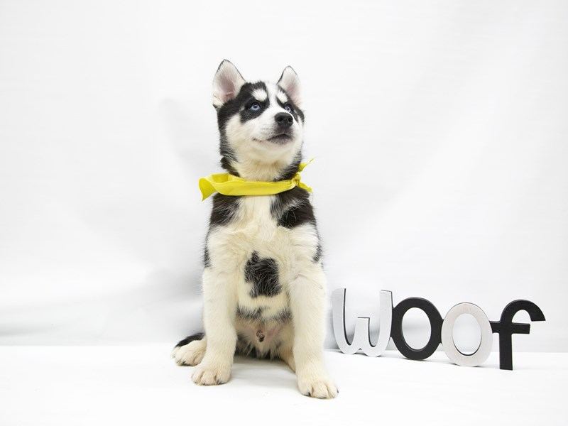 Siberian Husky-DOG-Male-Black & White-2649750-Petland Wichita, KS