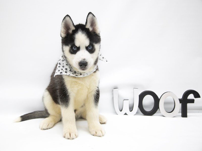 Siberian Husky-Male-Black & White-2649741-Petland Wichita, KS