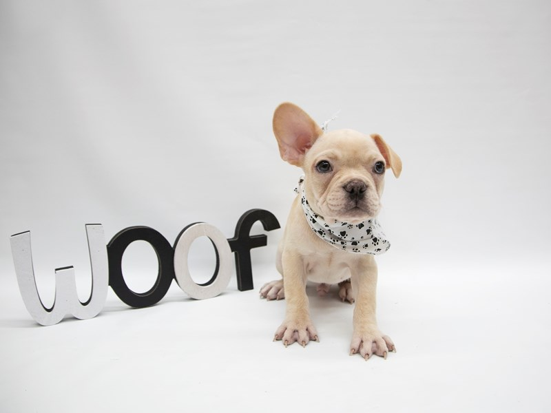 French Bulldog-Male-Cream-2649685-Petland Wichita, KS